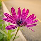 Daisy dazzle by Kim Austin