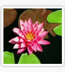 Fuchsia Pink Water Lilly Flower floating in Pond Sticker