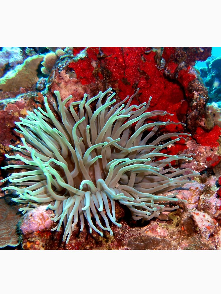 Giant Green Sea Anemone feeding near Red Coral Reef Wall by Scubagirlamy