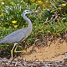 White Faced Heron  by Robert Elliott