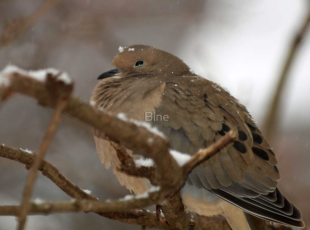 Mourning Dove battling the cold by Bine
