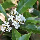 Pittosporum undulatum by Robert Elliott