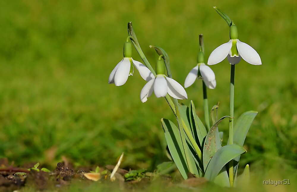 Snow drops in my Garden by relayer51