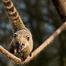 Coati by HelenBeresford