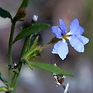 Dampiera stricta (Blue Dampiera) by Robert Elliott