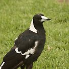 Australian Magpie by reflector