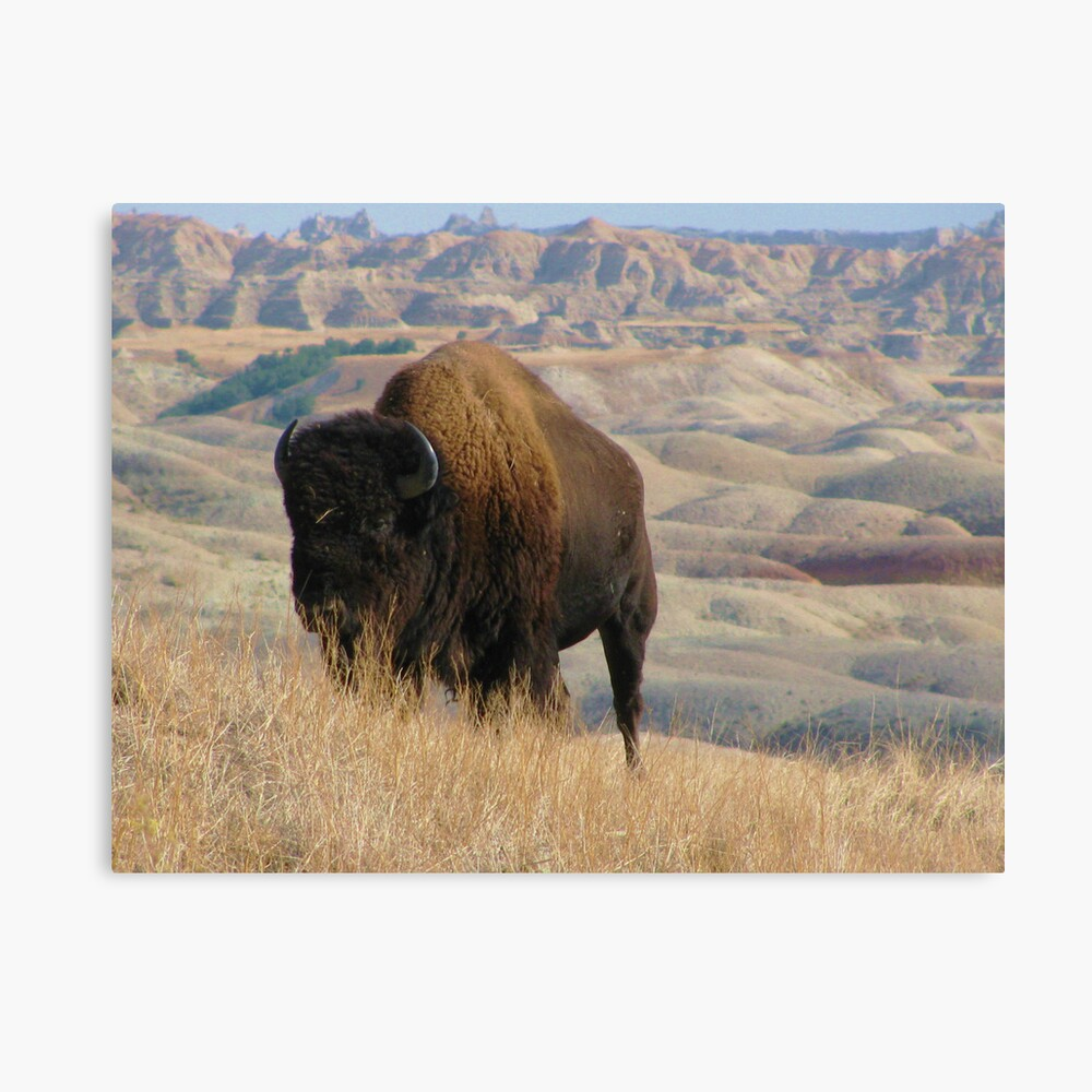 Lonely Badlands Bison Lienzo