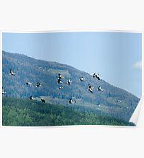 Naturalistic wall art color storks flock in flight - Liberi Poster