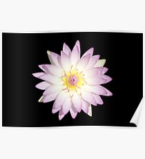 Water Lily Pink Color Poster