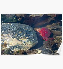 Crab close up with rock photography crustacean tide pool wildlife photography color wall art fine art - Rosso Poster