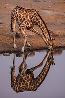 Giraffe at the Watering Hole by travisdallen