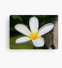 A Single Plumeria Flower Macro Canvas Print
