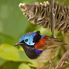 Male Variegated Fairy Wren by TheGreatContini