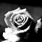 The Rose by Mark Batten-O'Donohoe