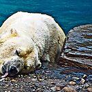 polar BEAR...................................................Endangered by Sassafras