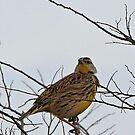 Western Meadowlark by SuddenJim