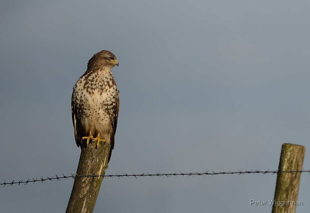 Common buzzard - IV by Peter Wiggerman