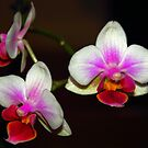 Colours of Orchid... by Arvind Singh