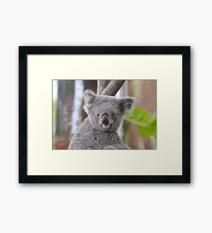 Koala Bear 1 Framed Print