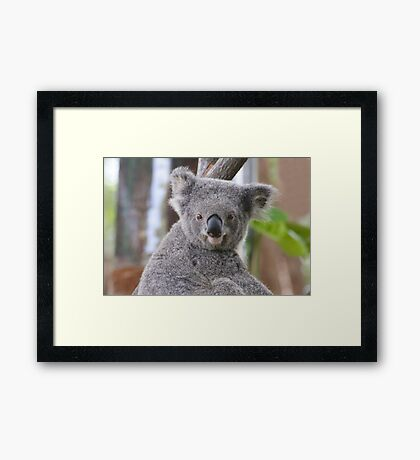 Koala Bear 2 Framed Print