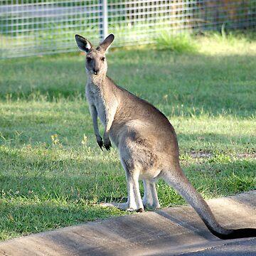 Kangaroo 1 by Gotcha29