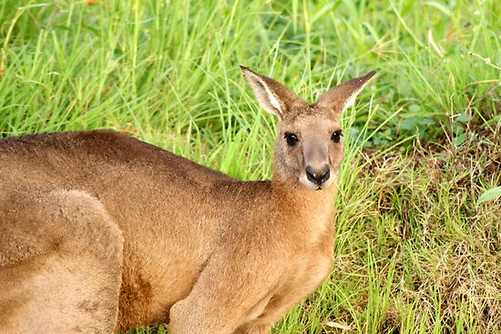 Kangaroo 8 by Gotcha29