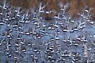 Black-tailed Godwits by Neil Bygrave (NATURELENS)