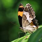 Australian Lurcher Butterfly by margotk