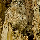 Baby Great Horned owl - Waiting For Dinner by Gregory J Summers