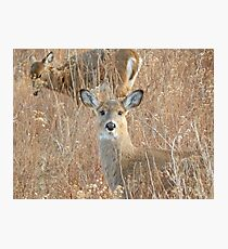 White tail deer in the brush Photographic Print