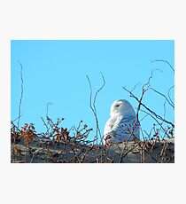 Snowy owl and beach roses Photographic Print