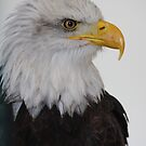 Bald Eagle by Mark Poulton