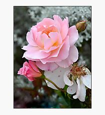 Lifecycle of a Rose Photographic Print
