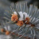 Blue Spruce by rosaliemcm