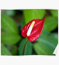 Miniature Deep Red Anthurium Bloom Poster