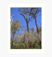 Eucalyptus in Serpentine Forest Art Print