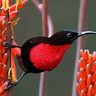 Scarlet Chested Sunbird by Anthony Goldman
