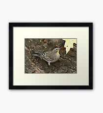 Yellow-rumped Warbler Framed Print