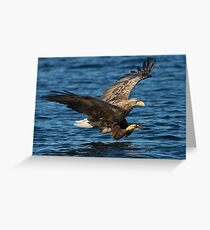 White-tailed Eagle Hunting Greeting Card