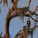 Osprey and Spanish Moss by DHParsons