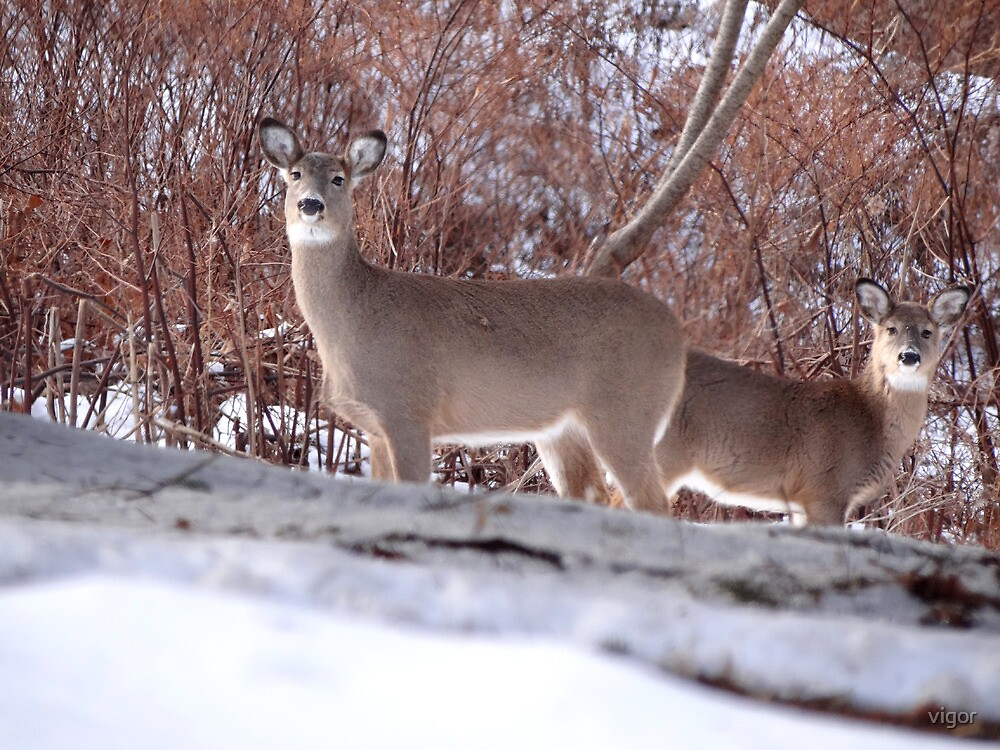 A doe, a deer, a female deer by vigor