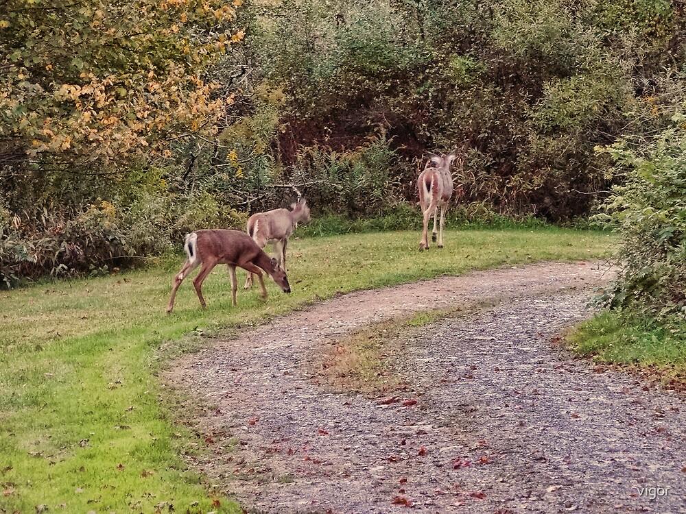 deer in the driveway by vigor