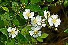 Multiflora Rose - Dog Roses - Rosa multiflora - Wildflower by MotherNature