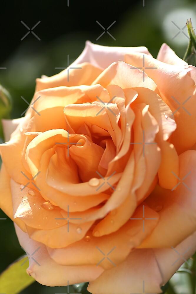 flower-orange-rose by Joy Watson