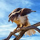 Hawk Landing by Barbara Manis