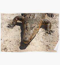 Saltwater Crocodile Brown Poster