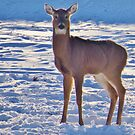 Deer Alone by lorilee