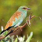 European Roller by Anthony Goldman