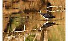 Straw-necked Ibis ~ Looking at Me  by Robert Elliott