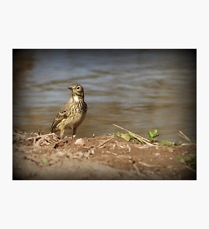American Pipit Photographic Print